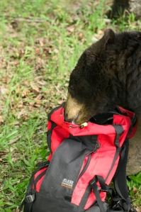 Black Bear Eats from Hikers Backpack Minnesota Captive